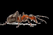 Ant_thumb