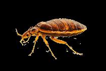 Bed-Bug_thumb