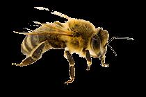 Bee_thumb