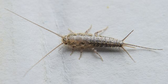 insect-feeding-on-paper-silverfish-royalty-free-image-869537974-1532554745