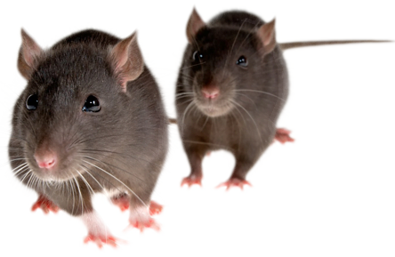 rat_mouse_PNG23557