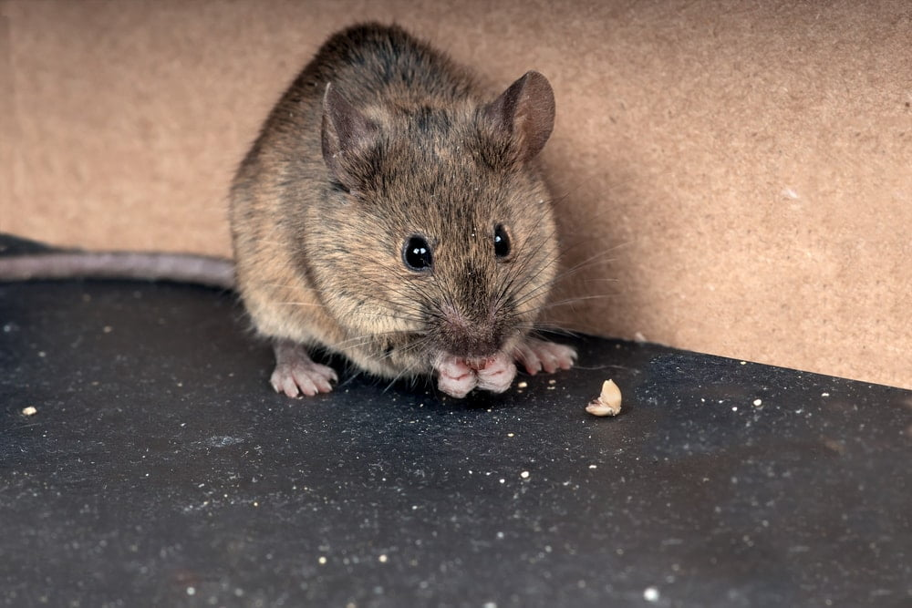 rodent-in-home-main