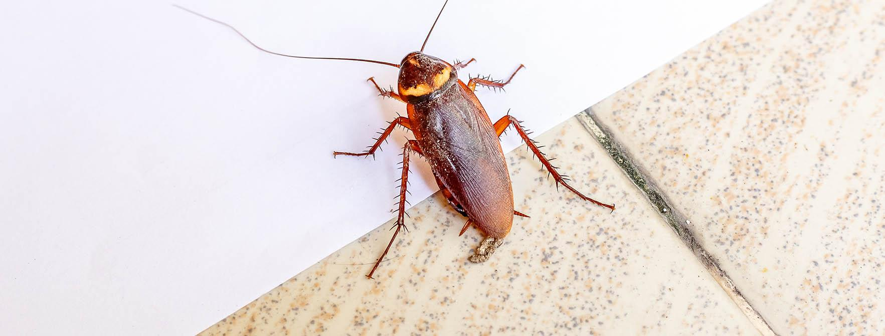 sb-lc-insect-header-cockroach