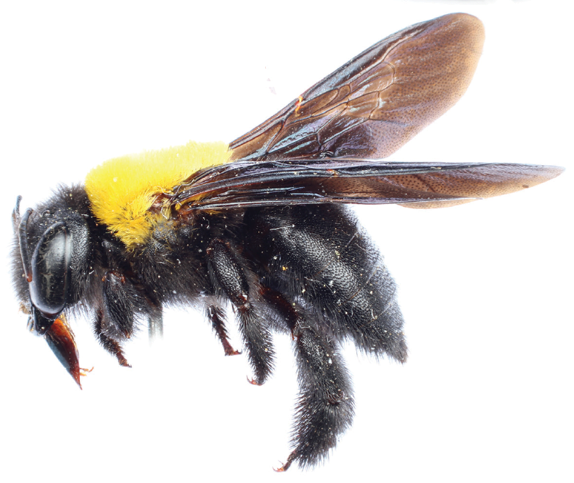 sciency-thoughts-xylocopa-sarawatica-a-new-species-of-large-carpenter-bee-png-812_684
